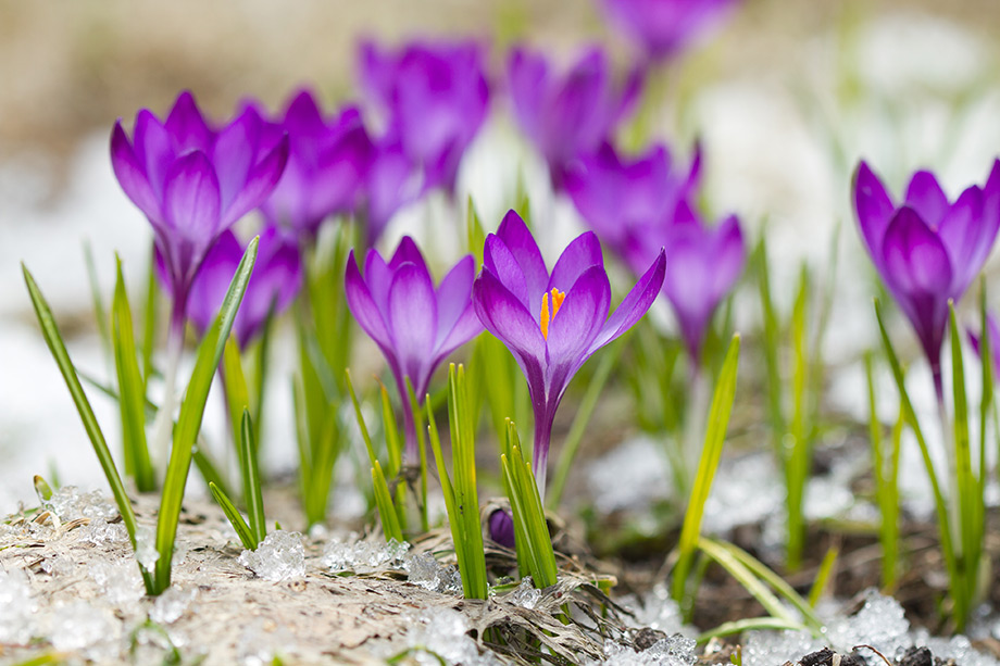 Χρειάζονται 85,000 λουλούδια για να συγκομισθεί ένα κιλό από φρέσκα στίγματα κρόκου.