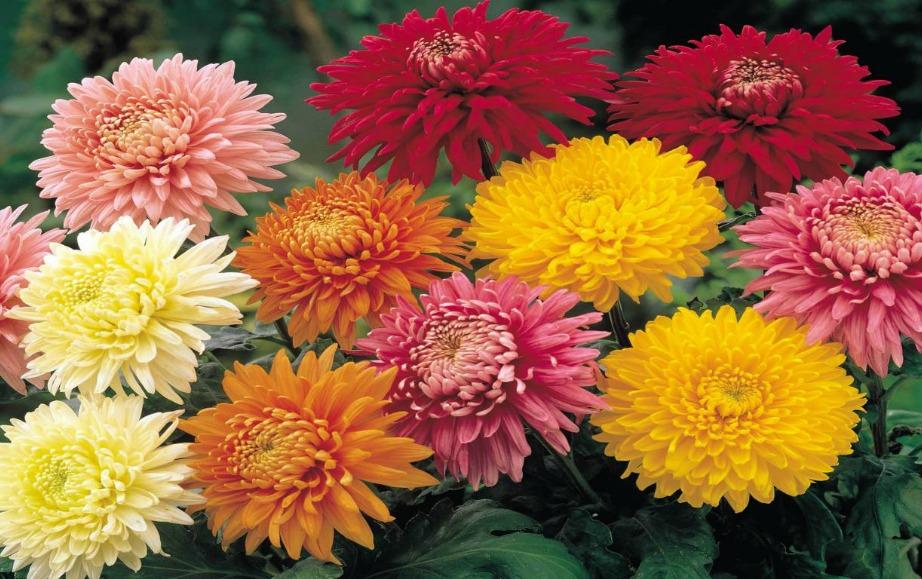 Το χρυσάνθεμο είναι ένα όμορφο φυτό που αντέχει πολύ και κοστίζει λίγο.
