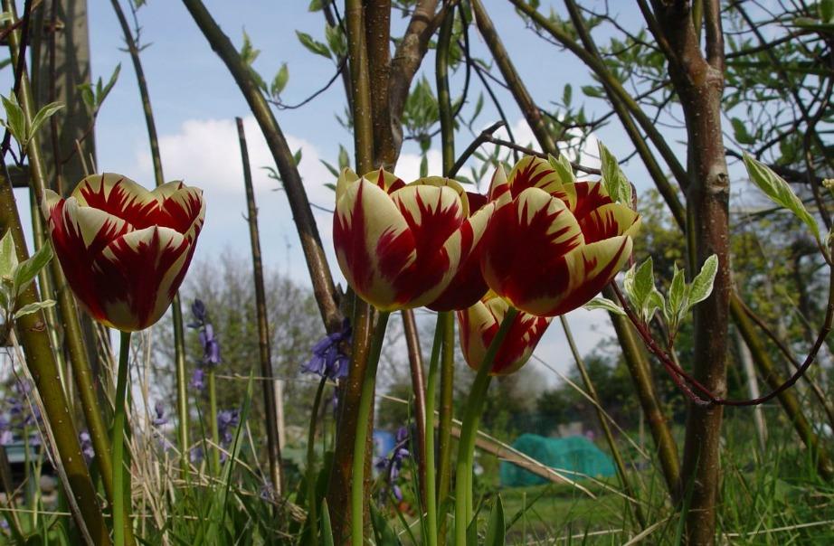 Μπορεί να μιλάμε για οικονομικά λουλούδια αλλά δε θα θέλατε να μάθετε και το πιο ακριβό λουλούδι στον κόσμο; Είναι το συγκεκριμένο της εικόνας και ονομάζεται τουλίπα του 17ου αιώνα.