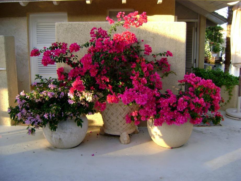 Η μπουκαμβίλια θα χαρίσει χρώμα στη βεράντα σας και είναι ένα πολύ ανθεκτικό λουλούδι.