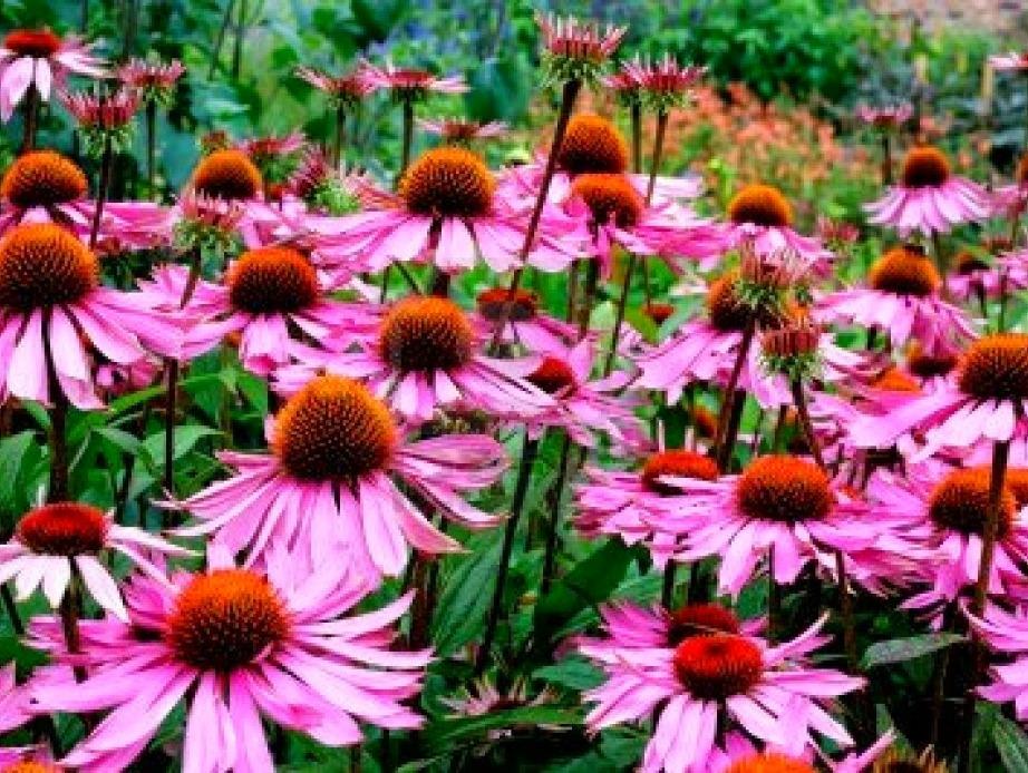 Η εχινάτσια είναι ένα λουλούδι με έντονο μοβ χρώμα που αντέχει σε δύσκολες συνθήκες.