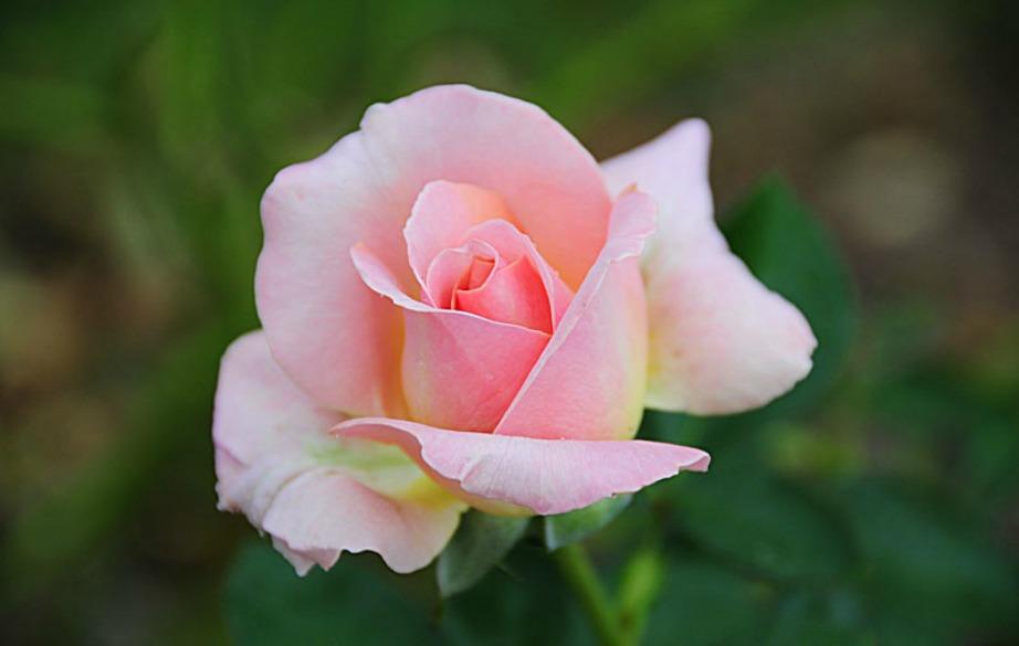 Το πιο δημοφιλές και συνηθισμένο τριαντάφυλλο είναι το «tea rose»