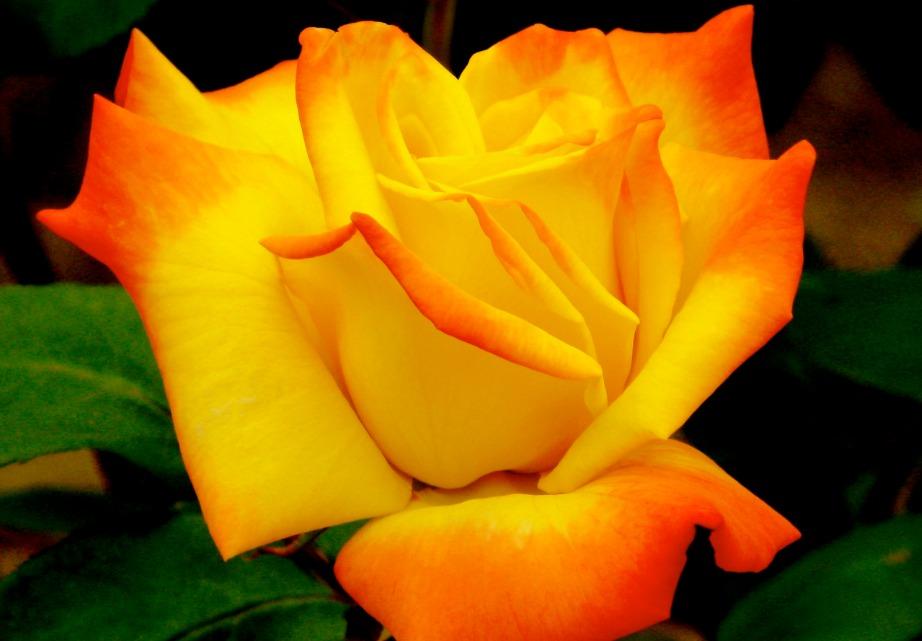 Το πορτοκαλί χρώμα μπορεί σε γενικές γραμμές να χρησιμοποιηθεί και σαν ευχαριστώ, για να δώσετε συγχαρητήρια ή για να πείτε σ'αγαπώ.