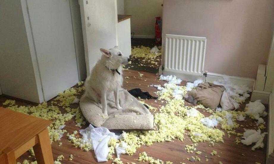 Τα μαξιλάρια είναι το αγαπημένο παιχνίδι των περισσότερων σκύλων.