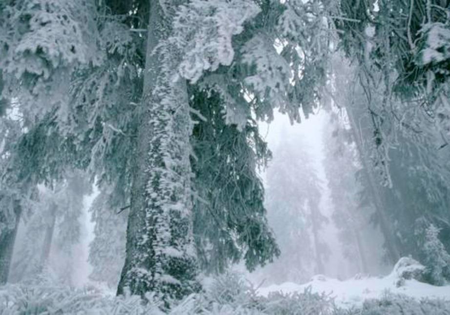 Τα έλατα στη Σιβηρία μετατρέπονται σε γυαλί και κρυσταλλώνουν για να προστατευθούν από το πολύ κρύο.