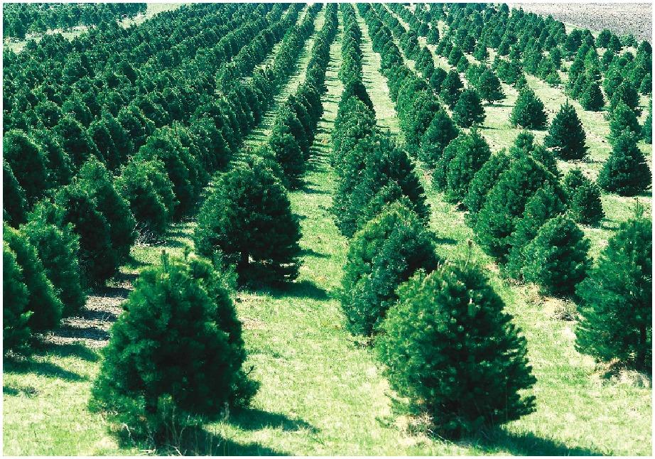 Ολόκληρες εκτάσεις καλλιεργούνται κάθε χρόνο με χιλιάδες έλατα με σκοπό να κοπούν και να πουληθούν τα Χριστούγεννα.