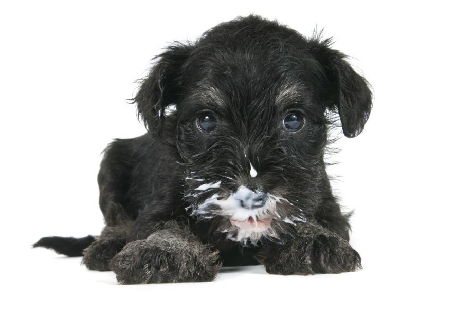 Μπορείτε να ταϊσετε άφοβα το σκυλάκι σας ληγμένο γιαούρτι καθώς θα κάνει πολύ καλό στο πεπτικό του σύστημα...