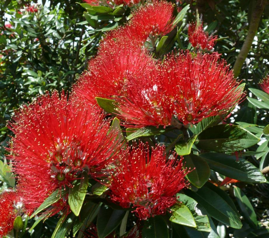Το Christmas bush είναι ένα αυστραλιανό λουλούδι με το οποίο στολίζουν τα σπίτια τους οι ντόπιοι τις γιορτινές μέρες.