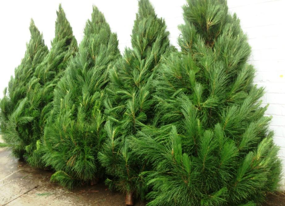 Επιλέξτε υγιή δέντρα με πράσινο φύλλωμα.