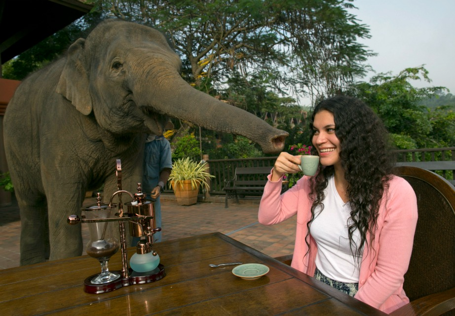 Ο πιο ακριβός καφές στον κόσμο παράγεται από περιττώματα ελεφάντων.