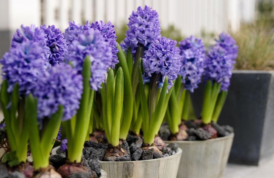 Οι πανέμορφοι υάκινθοι μπορούν να μπουν στον κήπο σας αυτήν την άνοιξη!
