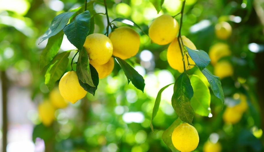 Τα λεμόνια της Κύπρου είναι πολύ μυρωδάτα και με αυτά φτιάχνουν υπέροχες σπιτικές λεμονάδες.