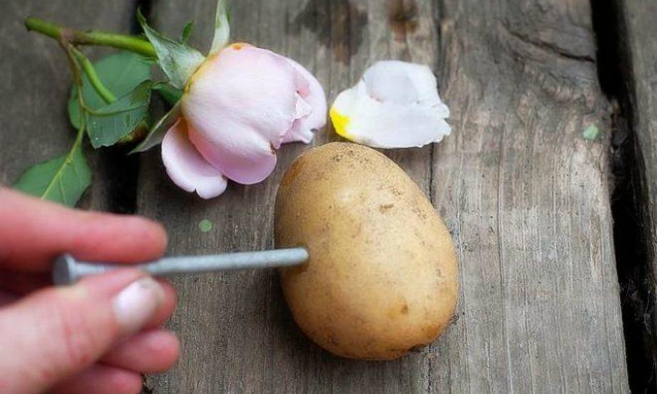 Δημιουργήστε τρύπα στις πατάτες σας και βάλτε ένα κοτσάνι σε κάθε οπή.