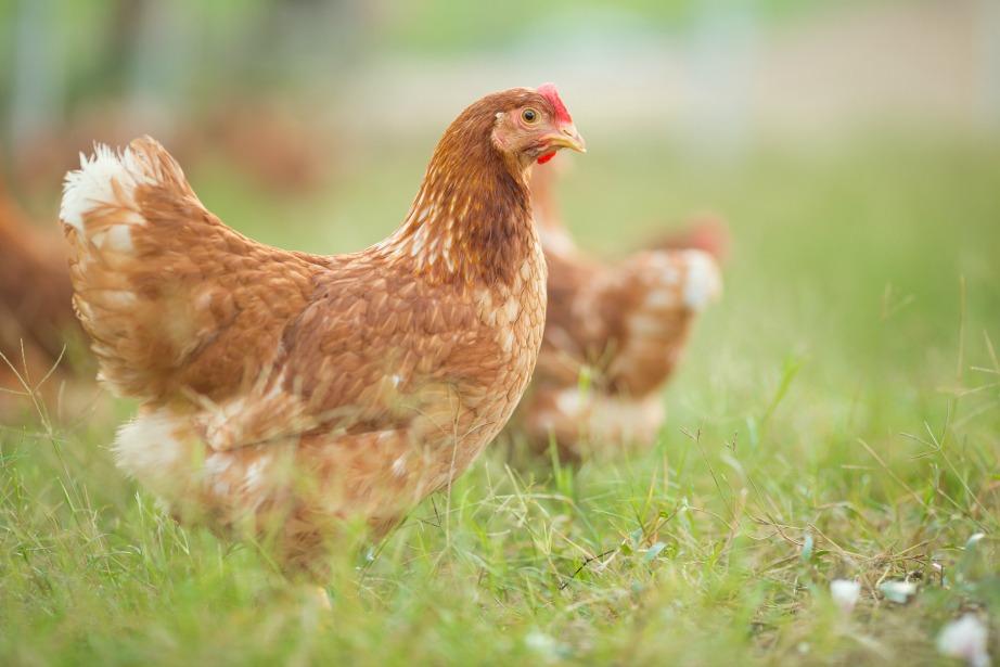 Το χρώμα του αβγού δεν αποτελεί δείκτη ποιότητάς του όσον αφορά τη γεύση ή τη θρεπτική του αξία