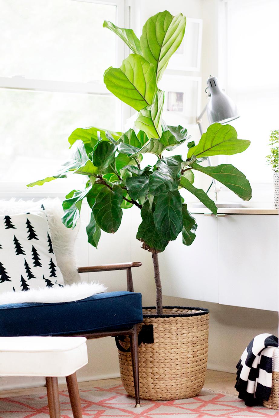 Το φυτό εσωτερικού χώρου που τα φύλλα του με σχήμα βιολιού μοιάζουν μένει εκτός από τη νέα σεζόν.