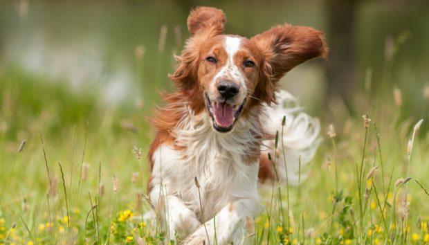 Αυτό Είναι το Χάπι που θα Κάνει τον Σκύλο σας να Ζήσει Περισσότερο