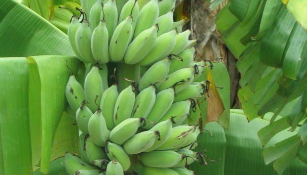 Αυτή η Μικροσκοπική Μπανάνα Έχει Τρελάνει το Ίντερνετ και Μπορείτε να την Μεγαλώσετε στο Σπίτι σας