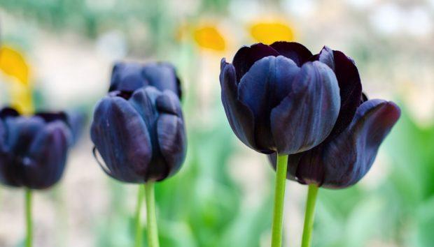 9 Σκουρόχρωμα Φυτά για Έναν… «Gothic» Κήπο!