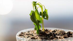 μισοπεθαμένα φυτά