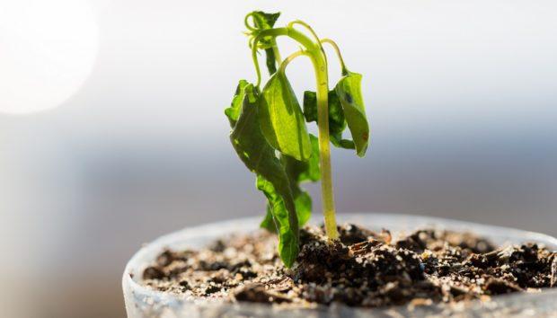 Έτσι θα «Αναστήσετε» τα Μισοπεθαμένα Φυτά σας!