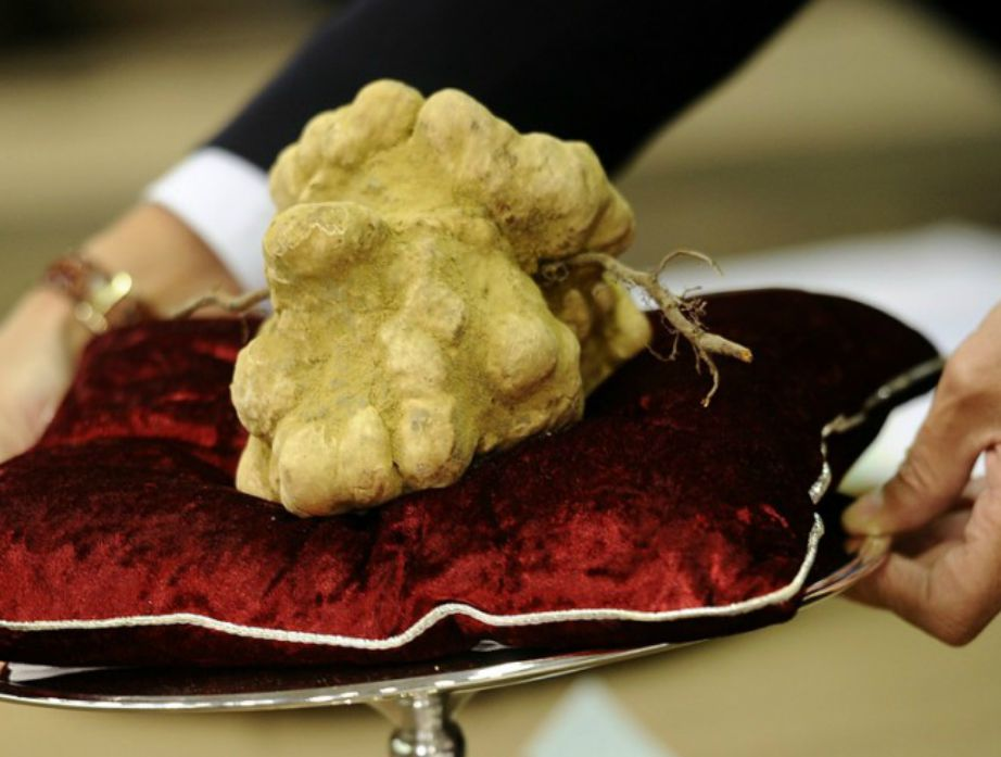 Η λευκή alba τρούφα μαζεύεται πολύ δύσκολα και πωλείται πάνω από 143.000 ευρώ.