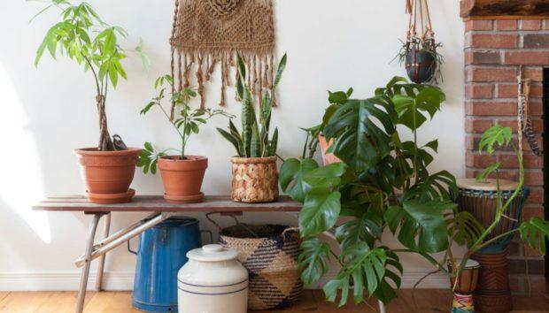 Αυτό Είναι το Φυτό που θα Φέρει Τύχη και Χρήματα στο Σπίτι σας!