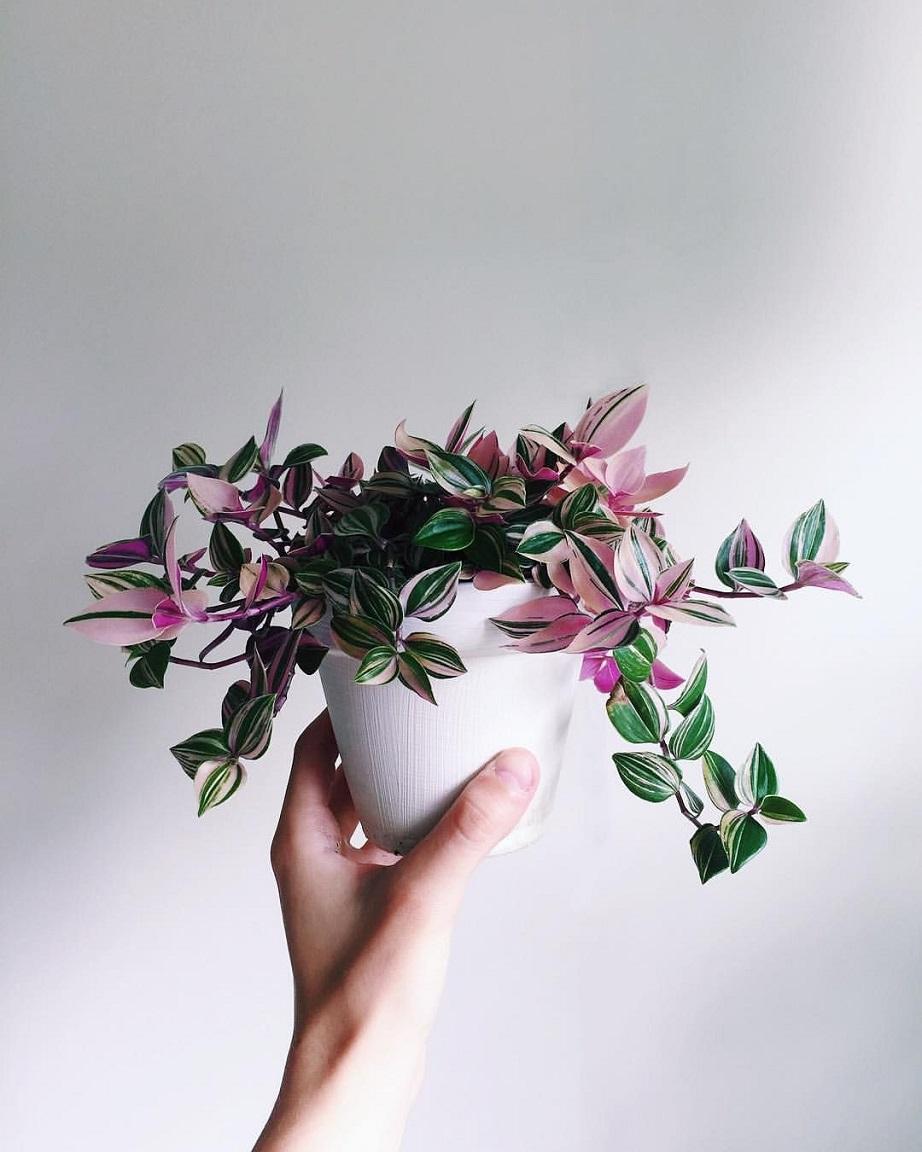 κρεμαστό φυτό
