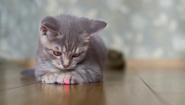 Ο Λόγος για τον Οποίο οι γάτες Λατρεύουν να Παίζουν με το Λέιζερ και ο Κίνδυνος που Εγκυμονεί