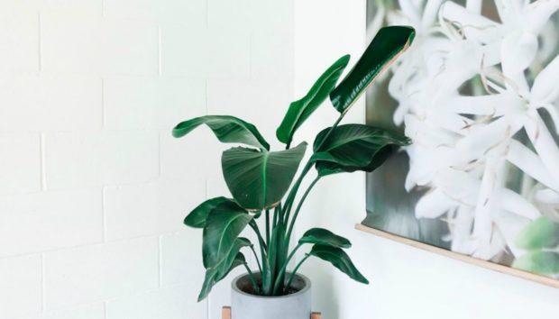 5 Φυτά Εσωτερικού Χώρου που Θεωρούνται Φυσικά Κλιματιστικά -Μειώνουν τη Θερμοκρασία του Σπιτιού