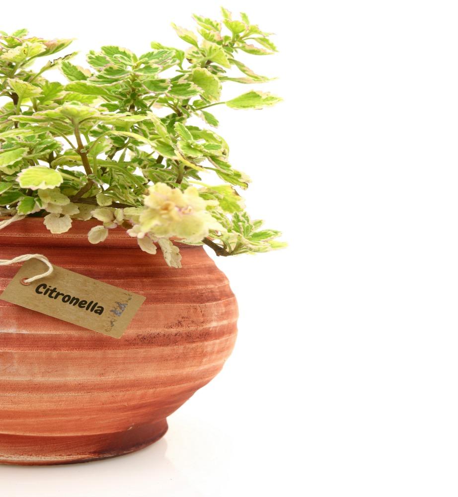 Φυτέψτε φυτά με εντομοαπωθητική δράση, όπως η σιτρονέλα.