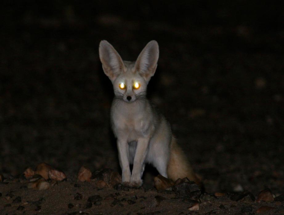 Το πιο χαρακτηριστικό είδος αλεπούς στη Σαχάρα.