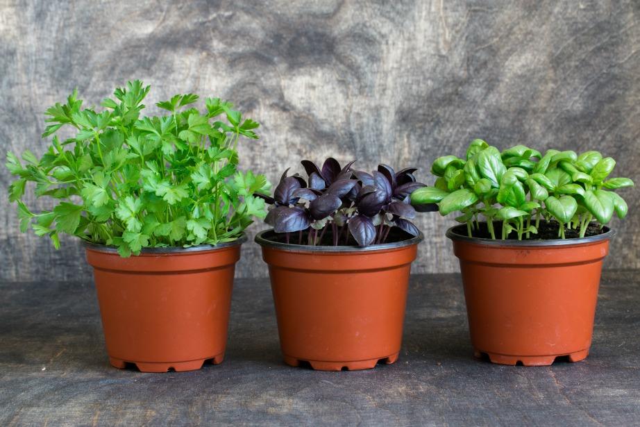 Τα αρωματικά φυτά κάνουν σημαντική δουλειά για την εξόντωση των ενοχλητικών αυτών εντόμων.